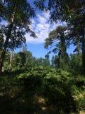 Floresta, abetos e pinhos selvagens em uma clareira bonita O céu azul e as nuvens macias são visíveis através dos ramos das árvor fotografia de stock
