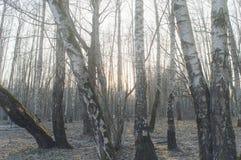 Floresta adiantada da mola Imagem de Stock