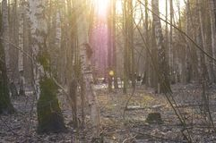 Floresta adiantada da mola Imagens de Stock Royalty Free