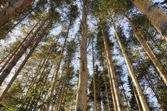 Floresta alta do pinho foto de stock royalty free