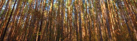 Floresta alta do pinho, troncos de árvore Fotografia de Stock Royalty Free