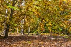 Floresta amarela do outono fotografia de stock royalty free