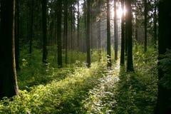 Floresta após a chuva Imagens de Stock