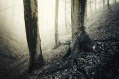 Floresta assombrada com as árvores velhas com raizes grandes Foto de Stock