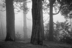 Floresta assustador com névoa e as árvores velhas fotos de stock royalty free