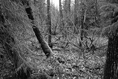 Floresta assustador da foto preto e branco fotografia de stock