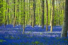 Floresta azul e verde/colorida das campainhas Foto de Stock Royalty Free