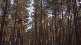 Floresta Báltico do pinho de Europa Oriental com as árvores sempre-verdes velhas altas que apontam acima no céu durante um dia en video estoque