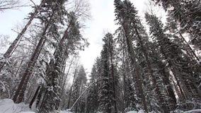 Floresta bonita do inverno no taiga filme