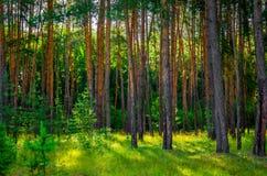 A floresta bonita do pinho Fotografia de Stock