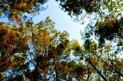 Floresta bonita do pinho em Yogyakarta fotos de stock royalty free