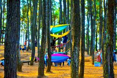 Floresta bonita do pinho em Yogyakarta imagens de stock royalty free