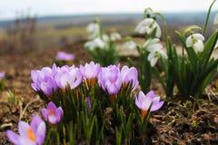 Floresta boreal de Galanthus e de açafrão na primavera Foto de Stock