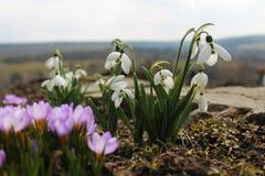 Floresta boreal de Galanthus e de açafrão na primavera Fotografia de Stock Royalty Free