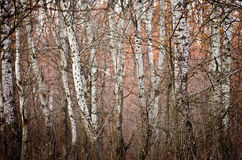 Floresta branca Imagem de Stock