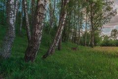 Floresta brilhante colorida de Sunny Summer Green Birch Tree fotografia de stock