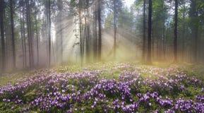 Floresta Carpathian mágica no alvorecer Fotos de Stock