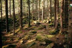 A floresta Carpathian mágica no alvorecer encheu-se com os raios delicados do sol Fotografia de Stock
