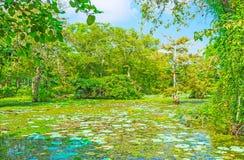 Floresta cingalesa do pântano imagens de stock royalty free