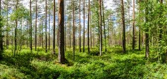 Floresta clara do pinho imagens de stock