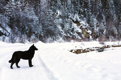 Floresta coberto de neve do inverno, cão preto que anda na floresta Fotos de Stock Royalty Free