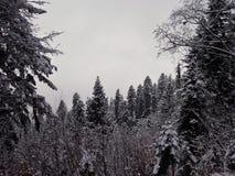 Floresta coberto de neve do pinho nas montanhas fotografia de stock