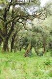 Floresta com as árvores cobertas com os líquenes e os epiphytes na floresta úmida da montanha de Tanzânia fotos de stock