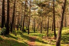 A floresta com as árvores finas e altas cruza meu trajeto fotografia de stock