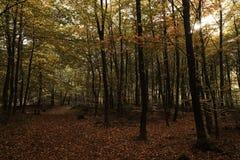 Floresta com as folhas caídas no assoalho da floresta Fotografia de Stock