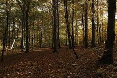 Floresta com as folhas caídas no assoalho da floresta Imagens de Stock Royalty Free