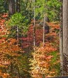 Floresta com as folhas coloridas em árvores Imagem de Stock Royalty Free