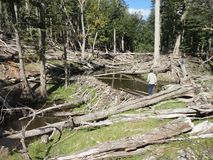 Floresta com corte das árvores Imagem de Stock Royalty Free