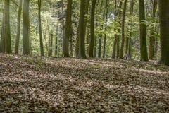 Floresta com luz solar Imagens de Stock Royalty Free