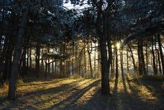 Floresta com a luz traseira que brilha completamente Imagens de Stock