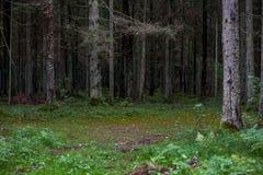 Floresta com musgo e árvores ao redor lithuania Fotografia de Stock