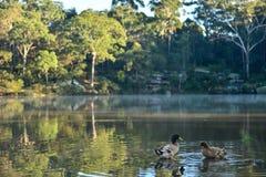 Floresta com névoa na manhã e pato na lagoa. Foto de Stock Royalty Free