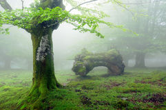 Floresta com névoa na mola e no tronco inoperante Imagens de Stock