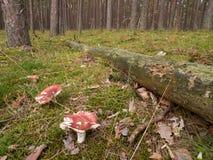 Floresta com o cogumelo em Alemanha do norte Imagens de Stock Royalty Free