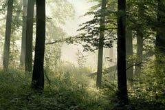 Floresta com raias do sol através das árvores Imagens de Stock Royalty Free