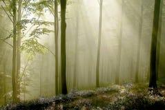 Floresta com raias do sol através das árvores Fotografia de Stock Royalty Free