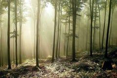 Floresta com raias do sol através das árvores Fotos de Stock