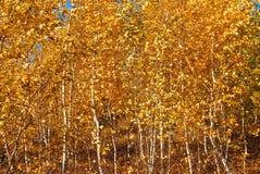 floresta com ?rvores amarelas imagem de stock