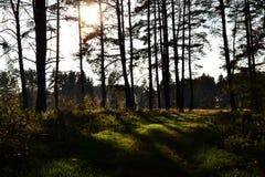 A floresta com sol de brilho irradia - sombras e luzes Fotografia de Stock Royalty Free