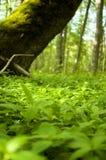 Floresta com a terra coberta com as calças pequenas fotografia de stock royalty free