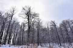 Floresta completamente da neve Foto de Stock