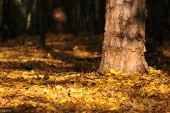 Floresta completamente das folhas de outono amarelas Imagens de Stock Royalty Free