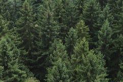 Floresta conífera Imagens de Stock
