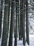 Floresta conífera bonita com os pinheiros do abeto no inverno com neve Imagens de Stock Royalty Free