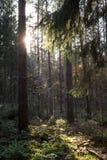 Floresta conífera com luz solar Imagem de Stock
