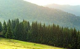 Floresta conífera do pinho em montanhas Carpathian Fotos de Stock